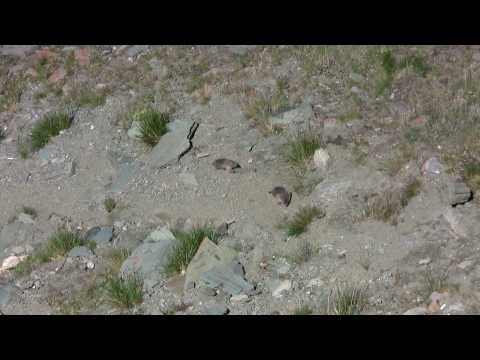Großglockner Marmots (=Murmeltiere)