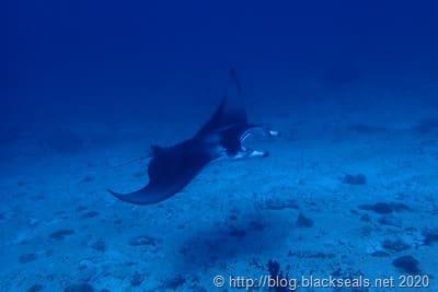 addu-atoll-manta-rochen