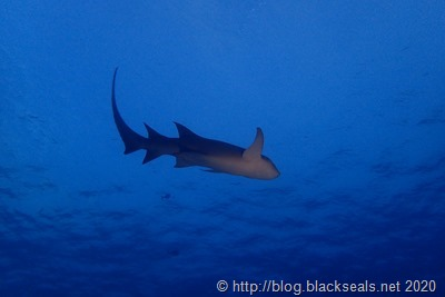 vaavu-atoll-ammenhai-1